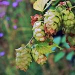 Humle som bland annat används i öl är ett naturligt sömnmedel