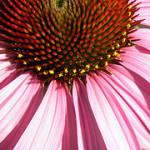 Echinacea har bevisats vara effektivt mot förkylning – men bara en halv dag
