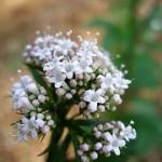 Vänderot används i bland annat Valeriana Forte som naturligt sömnmedel och lugnande medel