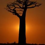 Baobab – superfrukt från Afrika
