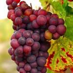 Vindruvor – nyttiga|kalorier|historia