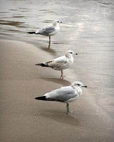 Tre fåglar på rad
