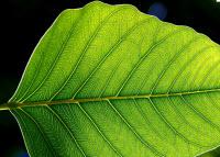 Grönt blad