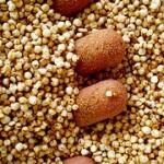 Hur nyttigt är Quinoa? Näringsvärde och kalorier