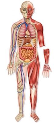 bild på kroppen