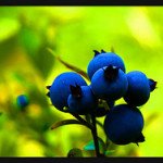 Blåbär – fakta om ett av Sveriges allra nyttigaste bär
